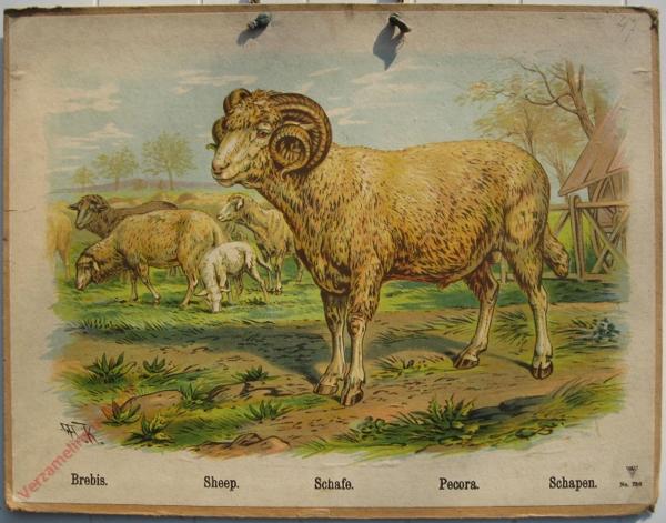 736 - Brebis, Sheep, Schafe, Pecora, Schapen